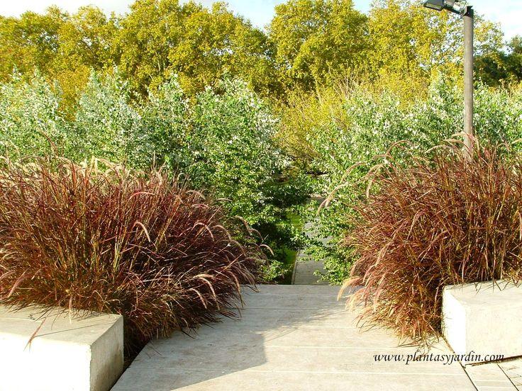 """Pennisetum setaceum """"Rubrum"""" en contraste de colores y texturas."""