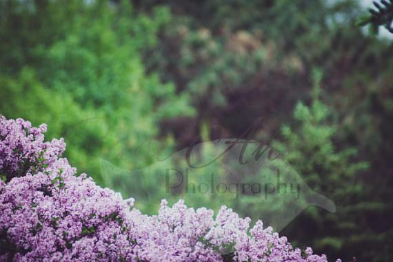 Digital JPEG file  Purple and Pines  Backdrop/Background  All sales are final due to the digital nature of this product.  Credit is not required but please alter before producing any products with this image or posting online.  Do not claim as your own.  Do not resell.  Not suitable for large scale backdrop printing.