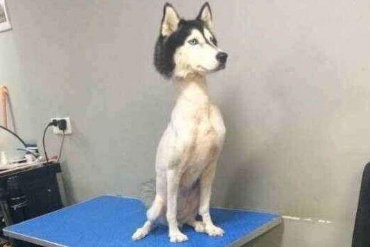 A shaved husky. : aww