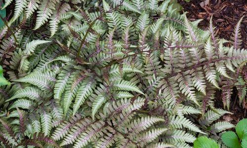 Athyrium Niponicum var. Pictum,Painted Lady Fern, Shade plants, shade perennial, plants for shade, plants for wet soil
