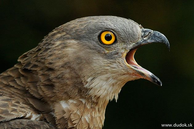 European honey buzzard (Pernis apivorus)    Dravé vtáky