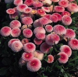 Bellis perennis Planet Strawberry and Cream / Tusindfryd  Rosa blomster    Blomstrer i April - juli    Højde ca 10 cm    Solrigt    10-12 planter pr. m2