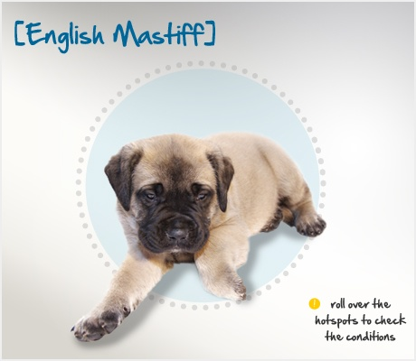 Did you know that when Caesar noticed the fearless English Mastiff fighting alongside British soldiers, he was so impressed that he brought them back home to Rome? Read more about this breed by visiting Petplan pet insurance's Condition Checker!
