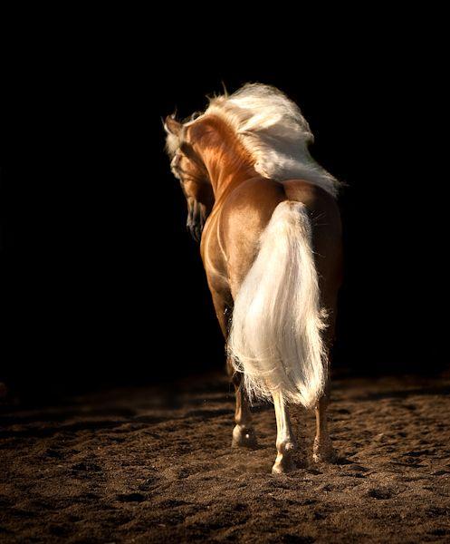 One gorgeous Haflinger Stallion