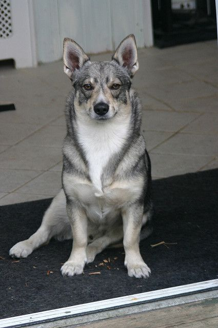 swedish vallhund.