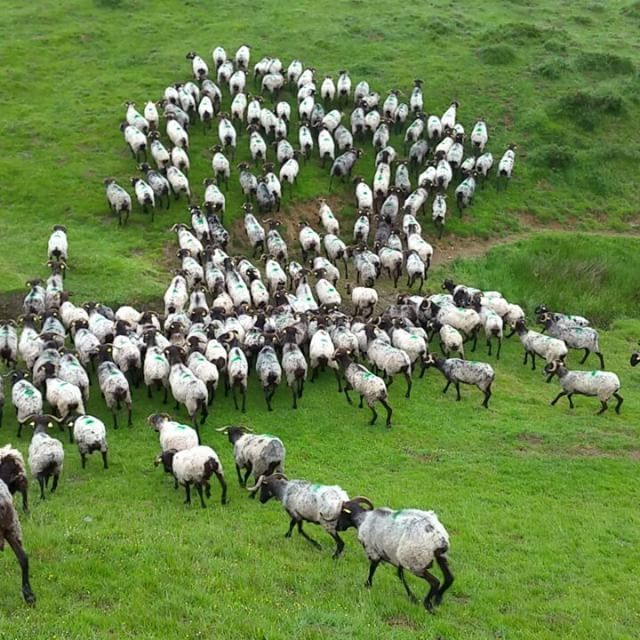 Et hop !!! 🐏🐏🐏🐑🐑🐑🐏🐏🐏 #montagnebasque #brebis #brebisbasque  #burubeltz #tetenoire #montagne #mountains #rando #instarando #randonnée #montana #paysbasque #bortua #mendia #sheep #animal #instanimal #cute #transhumance #video #instavideo #pyrénées