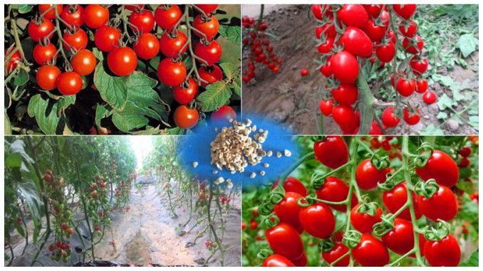 Metodele Maslov sau cum să creștem de zece ori producția de roșii