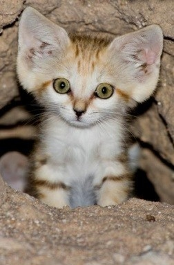 Felis margarita/ sand cat