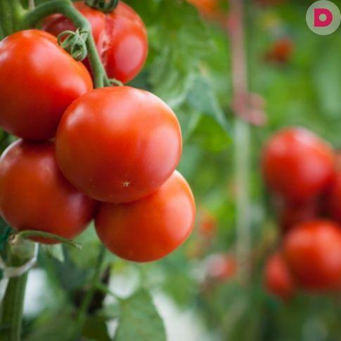 Популярная телеведущая Октябрина Ганичкинарасскажет, <br /> что делать, если помидоры сидят на одном месте и не <br /> растут.
