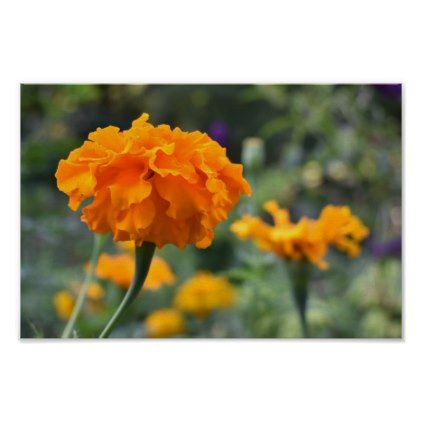 Marigold Orange Flower Nature Photography Garden Poster - photography picture cyo special diy