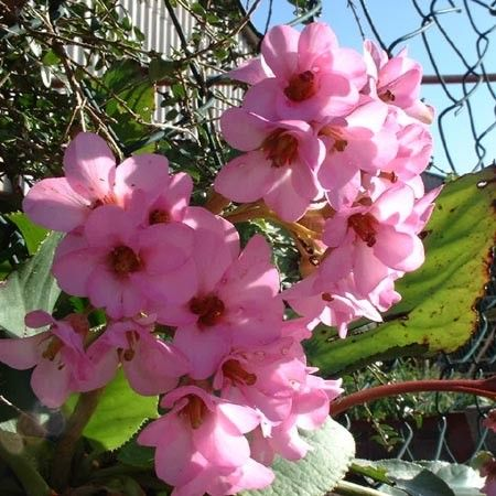 Bergenia rose - Plantes et Jardins