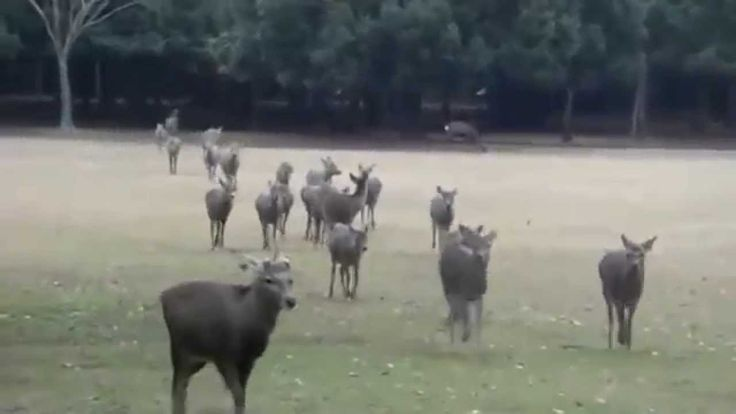 At Nara Park in Japan, some 1,200 sika deer -- protected as natural treaures -- are permitted to roam freely about the park. The deer enjoy a pampered lifestyle and are fed by visitors and park wor...