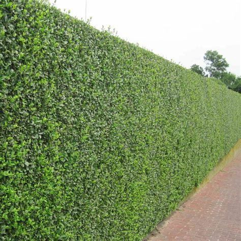 "Qty-15 Wild Privot Hedge 12"" tall Starter Seedlings for Landscape Privacy Hedge - FREE SHIPPING 