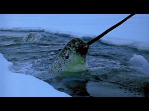 What In The World Is A Narwhal?   The Rainforest Site Blog