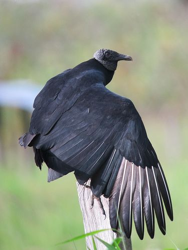 Coragyps atratus - Gallinazo negro - Black Vulture