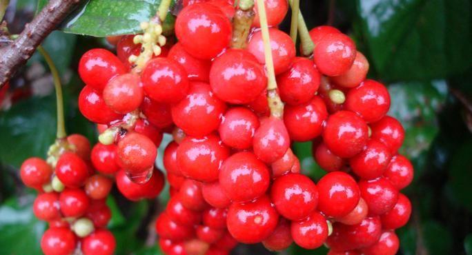 The New Superfood: Schisandra Berries.