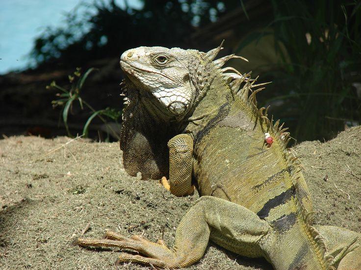 Barrancabermeja, las iguanas del Club Miramar.
