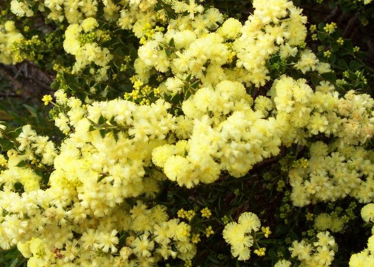 /wattle-acacia-flower-western-australia-albany1.JPG