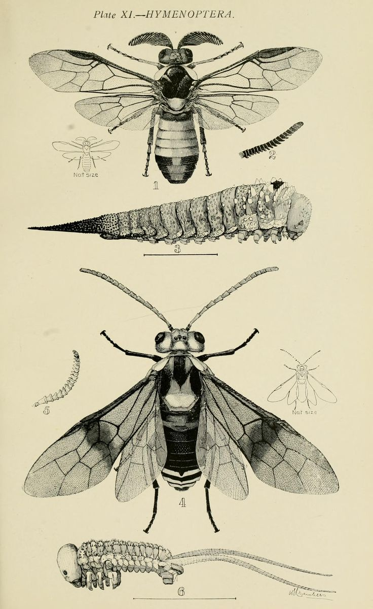 from Australian Insects, by W. Brooks, Sydney, 1907