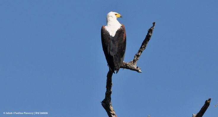Bielik afrykański, ang. African fish eagle