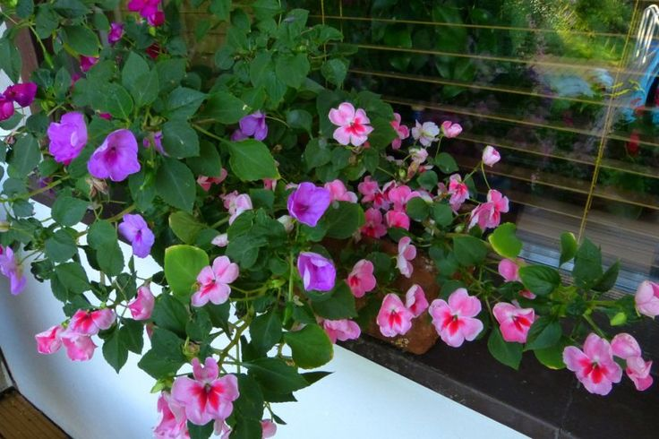 Nebáncsvirág a balkonládában