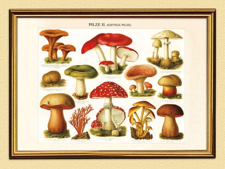 die besten 25 giftige pilze ideen auf pinterest essbare wilde pilze essbare pilze und pilze. Black Bedroom Furniture Sets. Home Design Ideas