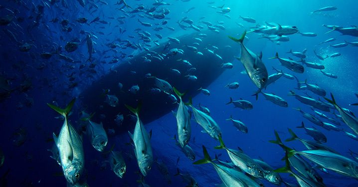 The Gardens marine sanctuary provides refuge for an abundant array of sea life, include this school of horse-eye jacks.
