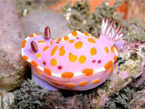 This is called Clown Nudibranch. This bright and uniquely colored sea slug can be found in the intertidal zones of temperate southern Australia and northern New Zealand.