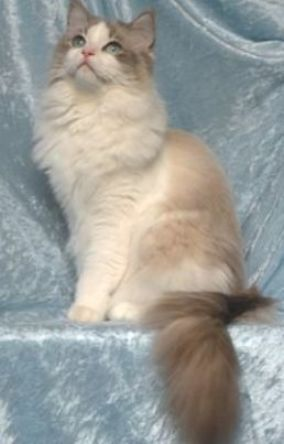 Pin On Ragdoll Kittens