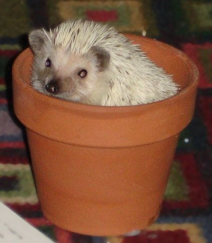 I want to get a pet hedgehog!  Care and feeding tips
