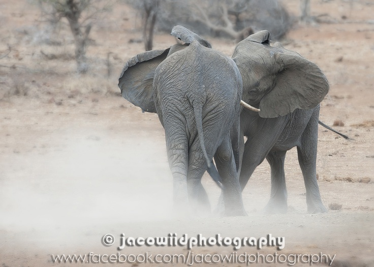 Two young bull elephants measuring their strength in a friendly battle - photographed in the Kruger National Park near Satara camp