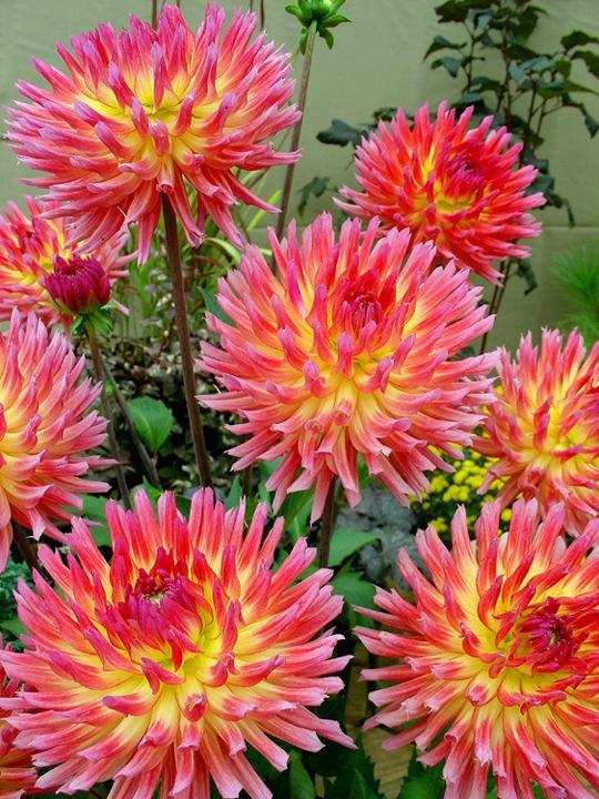 17 Best images about Divine Dahlias on Pinterest | Gardens