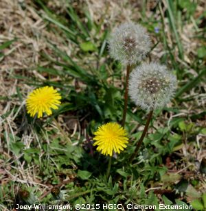 Dandelion (Taraxacum officinale) is a perennial lawn weed that spreads by wind-blown seeds.