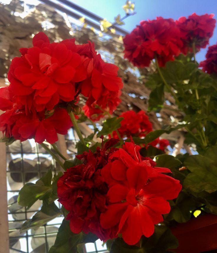 I fiori del nostro terrazzo: nutriti e protetti con HumuSS e HumuSS-Tea