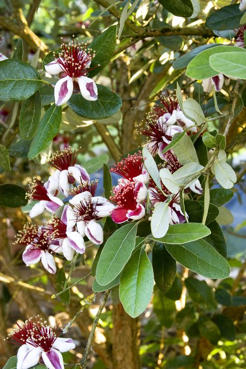 Pineapple Guava tree: fruit, edible flowers, very drought resistant  @MonroviaPlants & #GrowBeautifully