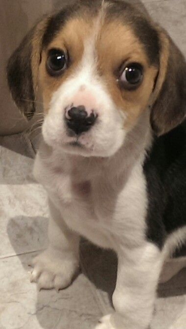 Puppy beagle Kenzy
