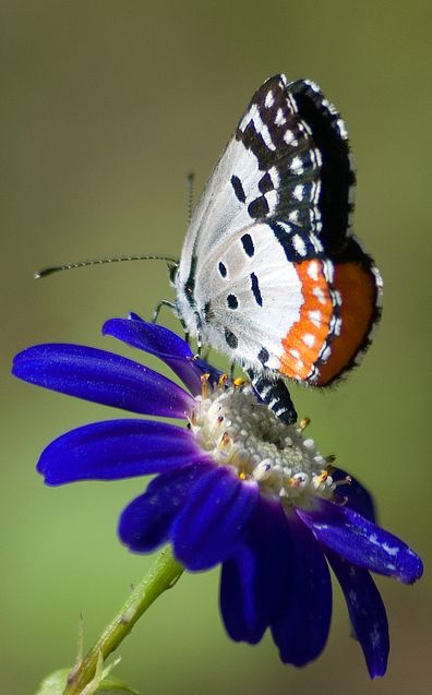 ~Red Pierrot: Season's First Butterfly by Ram Thakur~