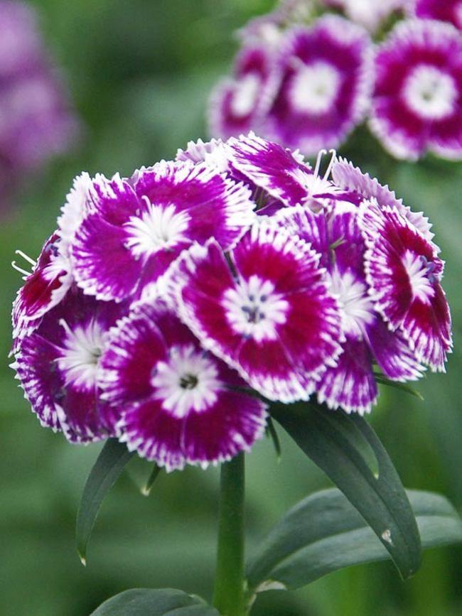 """Dianthus barbatus Sweet Purple White Bicolor, medium 18-36"""", mid spring to late summer"""