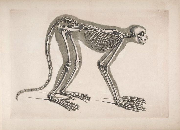 19 best animals skeleton images on pinterest | animal anatomy, Skeleton