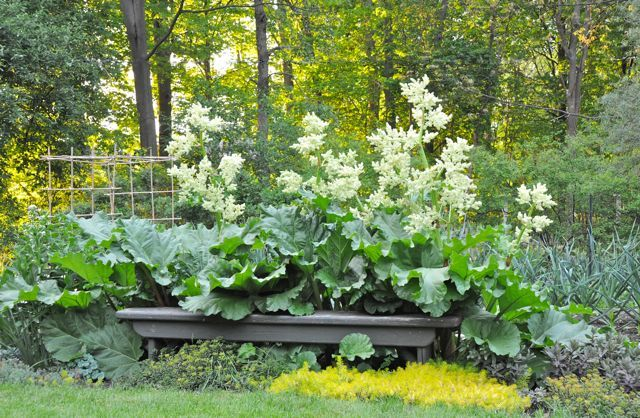 My most asked-about plant in May here: plain old common rhubarb! Even an un-special plant can show off if given the right spot (and love). : )