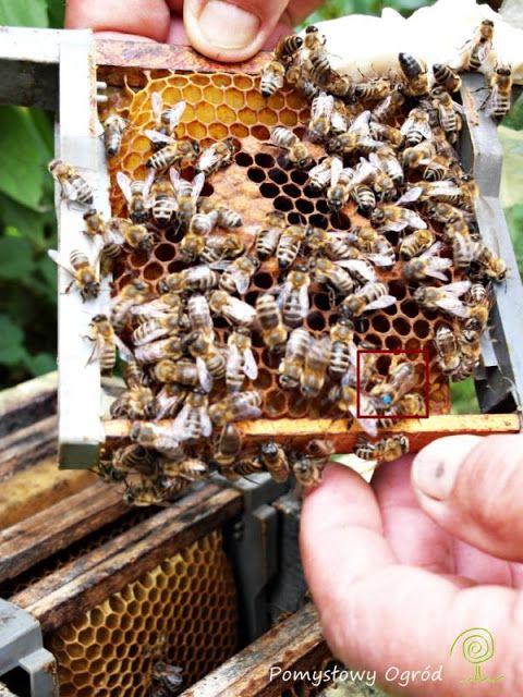 Bees with queen;  Pomysłowy ogród: Jak wspomagać pszczoły w naszym ogrodzie? To i inne pytania do mistrza pszczelarstwa...