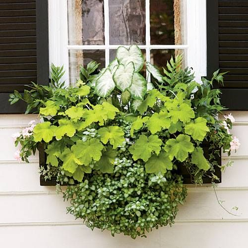 This would be a pretty window box display for my garden shed ~  The formula: 'Aaron' caladium, holly fern, 'Key Lime Pie' heuchera, 'White Nancy' lamium, ivy, and light pink periwinkle.