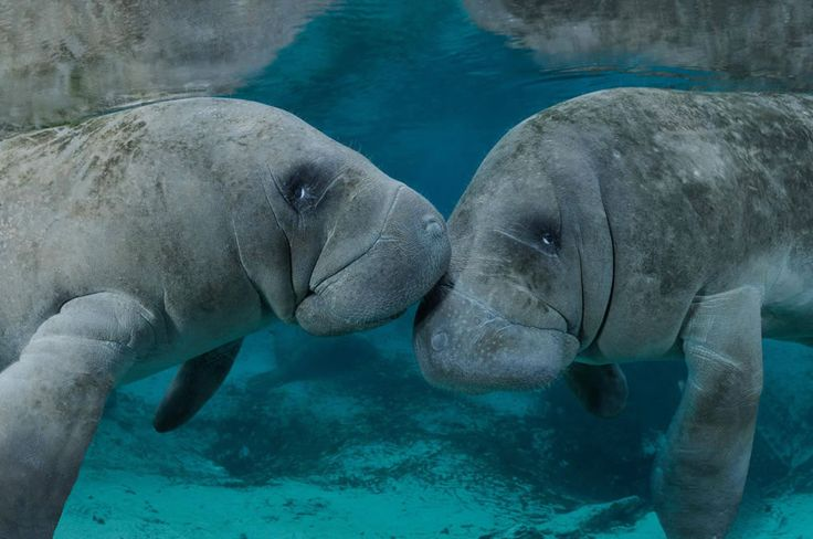 Manatees (Trichechus manatus) are not fish but marine mammals