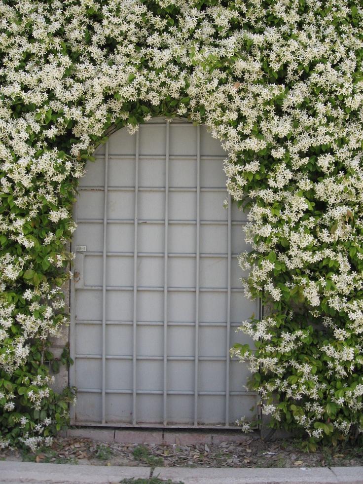Sterjasmijn Klimplant, groenblijvend