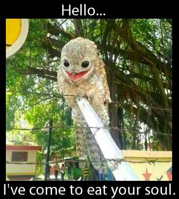 Ah, the potoo bird. .mu new fav birdy....i want one its so cute!!