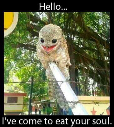 Ah, the potoo bird. .mu new fav birdy....i want one its so cute!!