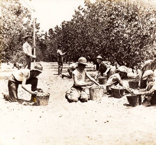 Young men picking fruit on Albert Prince's orchard in North Hollywood, 1920s. Prince is standing on the left holding a piece of wood. The area is now part of North Hollywood Park. Weddington Family Collection. San Fernando Valley History Digital Library.: Hollywood Parks, North Hollywood, Families Collection, San Fernando, Collection Pin, Fernando Valley, Young Men, Left Holding, Digital Collection