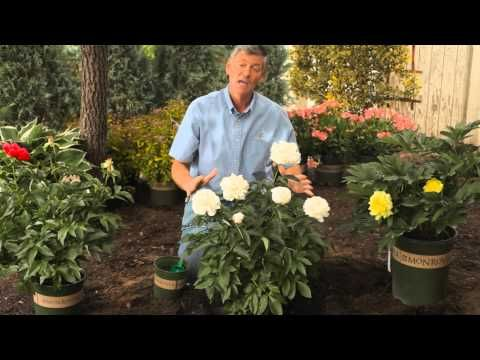 How to Fertilize & Trim Peonies in the Spring : Garden Savvy - YouTube