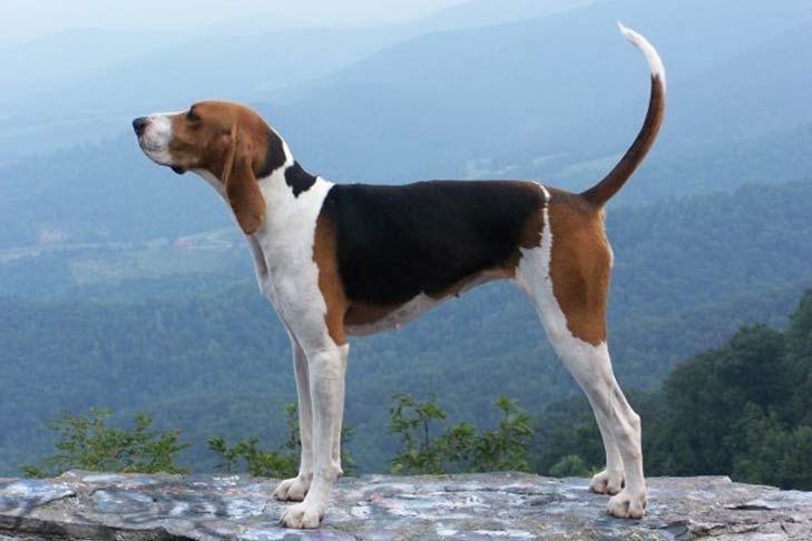 Treeing Walker Coonhound Dog Breed Information Walker Hound