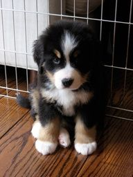 Bernese Mountain Puppy - I expect that Jake looked similar to this as a puppy.